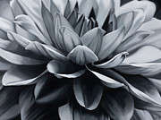 Photorealistic Posters - Dahlia on the Side Poster by Sharon Von Ibsch