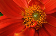 Floral Greeting Cards Prints - Dahlia Persuasion Print by Kathy Yates