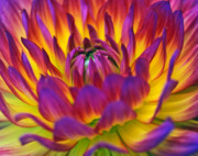 Fuschia Posters - Dahlia Power Poster by Kathy Yates