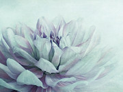 Close-ups Prints - Dahlia Print by Priska Wettstein