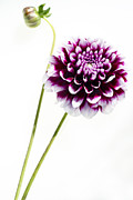 Purple Metal Prints - Dahlia Metal Print by Rebecca Cozart