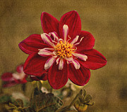 Indiana Art Digital Art Posters - Dahlia Poster by Sandy Keeton