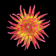 Framed Print. Colorful Posters - Dahlia Two Poster by Christopher Gruver