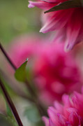 Dahlias Photos - Dahlias Angular by Mike Reid