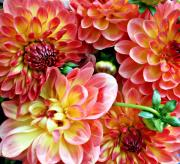 Farmers Market Posters - Dahlias Poster by Cathie Tyler