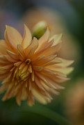 Dahlias Photos - Dahlias Pastel by Mike Reid