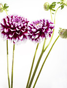Dahlias Framed Prints - Dahlias Framed Print by Rebecca Cozart