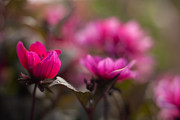 Dahlias Photos - Dahlias Red Dream by Mike Reid