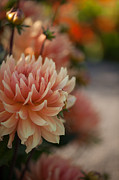 Dahlias Photos - Dahlias Season by Mike Reid