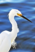 Snowy Egret Framed Prints - Dainty Dancer Framed Print by Melanie Moraga