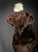 Chocolate Lab Photos - Dainty by Patrick English