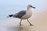 Dainty Sea Gull Print by Thomas Photography