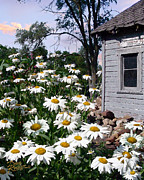 Shed Metal Prints - Daises Delight II Metal Print by Doug Kreuger