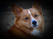 Den Prints - Daisie Our Corgi Print by David Dehner