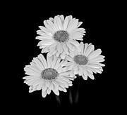 Black And White Photos - Daisies - Black and White by Larry Carr