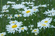 Chrysanthemum Leucanthemum Acrylic Prints - Daisies 4054 Acrylic Print by Michael Peychich