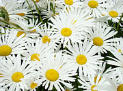 Fine Photography Art Photos - Daisies art prints White Daisy Flowers Floral by Baslee Troutman Floral Art Prints
