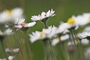Bellis Prints - Daisies (bellis Perennis) Print by Bjorn Svensson