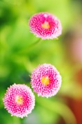 Bellis Prints - Daisies (bellis Perennis) Print by Maria Mosolova