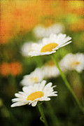 Pasture Herb Framed Prints - Daisies Framed Print by Darren Fisher