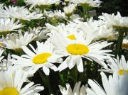White Daisies Photos - Daisies Floral Landscape art prints Daisy Flowers Baslee Troutman by Baslee Troutman Fine Art Photography