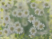 Holley Jacobs Prints - Daisies Print by Holley Jacobs