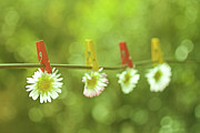 Hanging Posters - Daisies Hung On Wire With Clothespins Poster by Gil Guelfucci
