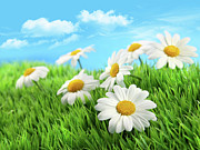 Garden Scene Posters - Daisies in grass against a blue sky Poster by Sandra Cunningham