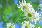 White Flower Photos - Daisies In Sunlight by Poppy Thomas-Hill