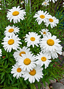 Pasture Herb Prints - Daisies Print by Jim Chamberlain