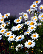 Daisies Print by Lana Trussell