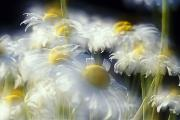 Multiple Exposures Prints - Daisies Print by Natural Selection Craig Tuttle