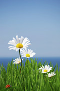 Clear Sky Prints - Daisies On A Cliff Edge Print by Andrew Dernie