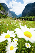 Focus On Background Prints - Daisies On A Meadow In Lauterbrunnen Valley Print by Jorg Greuel