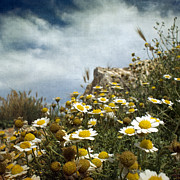 Languedoc-rousillon Prints - Daisies On Rocky Beach Print by Paul Grand Image