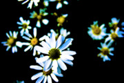 Blue Flowers Posters - Daisies Poster by Grebo Gray