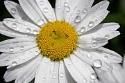 Rains Prints - Daisy After the Rain I Print by Carol Hathaway