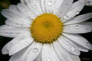 Daisy Metal Prints - Daisy After the Rain II Metal Print by Carol Hathaway