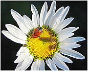 Flowers On White Background Prints - Daisy and Ladybug Print by Irina Hays
