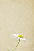 Cream Color Posters - Daisy Poster by Annfrau