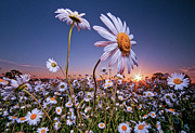 White Flower Photos - Daisy At Dawn by Wilsonaxpe
