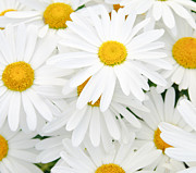 Chamomile Posters - Daisy Background Poster by Christopher and Amanda Elwell