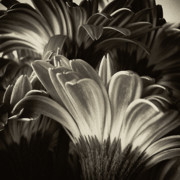 Dark Sepia Prints - Daisy Bouquet in Sepia Print by Tony Grider