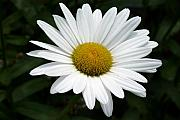 Pedals Photo Prints - Daisy Daisy Print by Tim Mattox