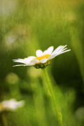Pasture Herb Prints - Daisy Print by Darren Fisher