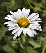 Bellis Prints - Daisy Dazzle Print by Peter Chilelli