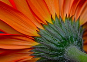 Frozen in Time Fine Art Photography - Daisy Delight
