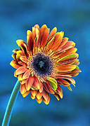 Multicolored Daisy Prints - Daisy Dialation Print by Bill Tiepelman