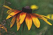 Daisy Drawings Metal Prints - Daisy Metal Print by Diane E Berry