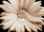 Umber Metal Prints - Daisy Dream Raindrops Sepia Metal Print by Jennie Marie Schell